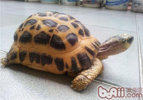 蛛网龟的生活环境