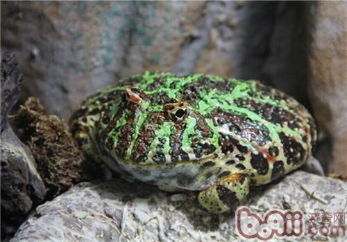 角蛙的饲养环境