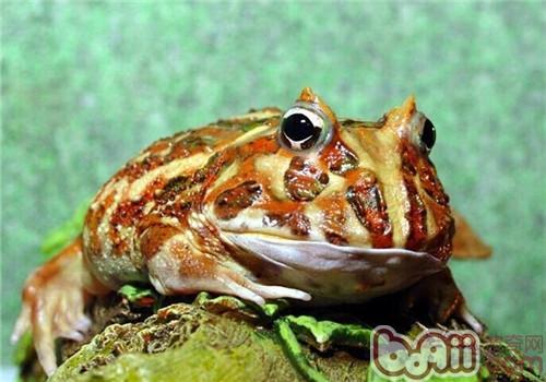 角蛙的形态特征