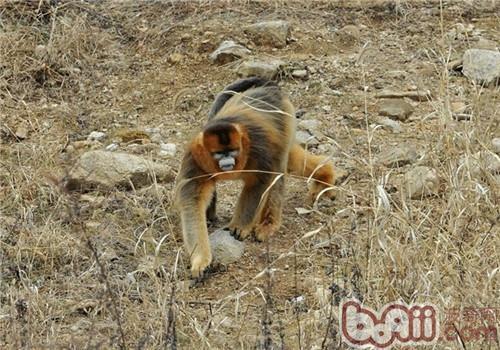 金丝猴的形态特征