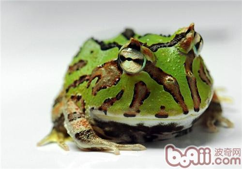 角蛙的品种简介