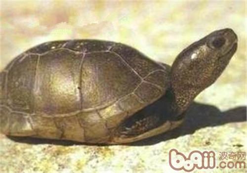 沼泽箱龟的护理知识