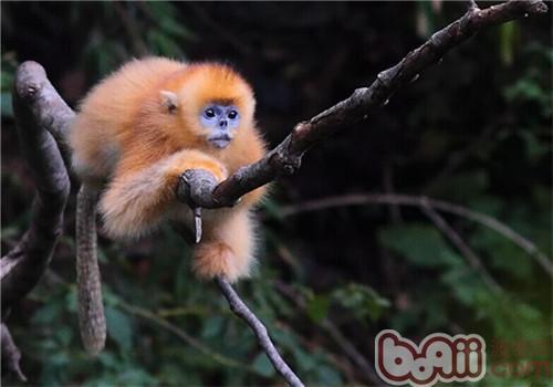 金丝猴的饲养知识