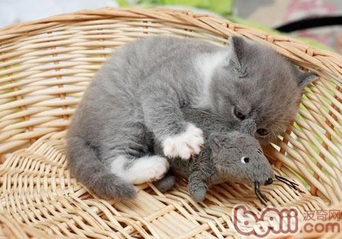 英国短毛猫的常见疾病