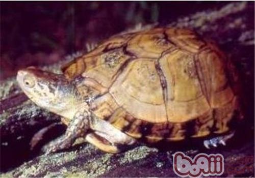 沼泽箱龟的饲养要点