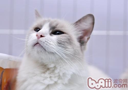 猫咪经常呕吐怎么回事