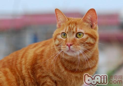 如何治疗猫咪外耳炎