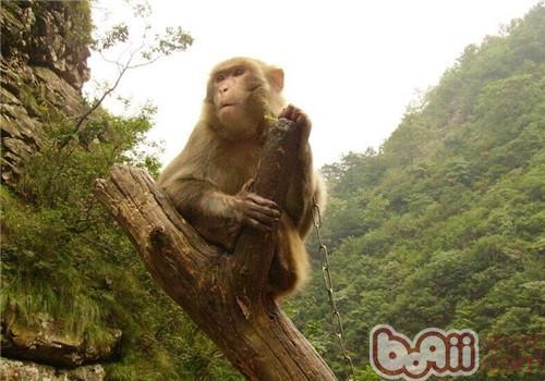 金丝猴的栖息环境