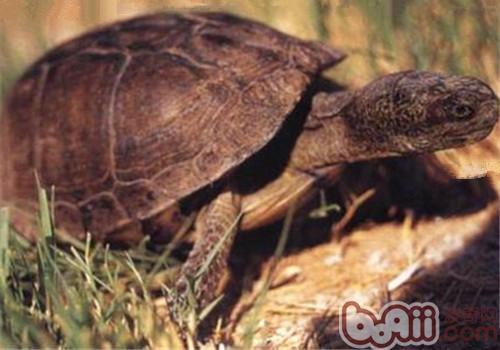 沼泽箱龟的品种简介