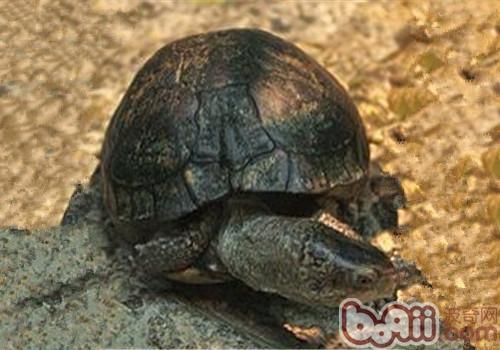 沼泽箱龟的外观特征