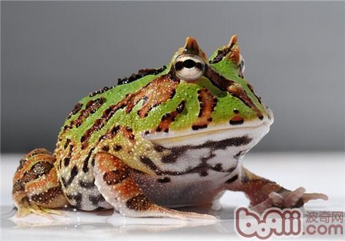 角蛙的喂食要点