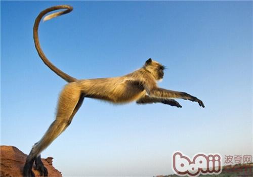 金丝猴的品种简介