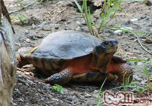 木雕水龟的外观特征