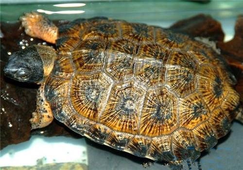 木雕水龟的品种简介