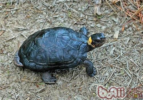牟氏水龟的护理知识