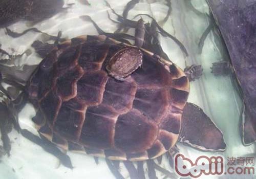 马来食螺龟的生活环境