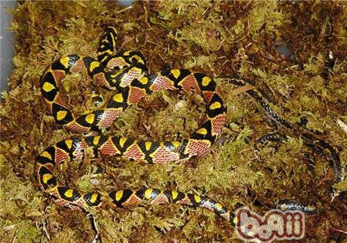 玉斑锦蛇的品种简介