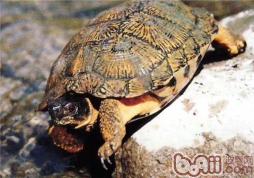 木雕水龟的饲养要点