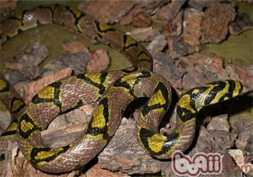 玉斑锦蛇的形态特征