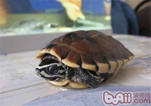 马来食螺龟的形态特征