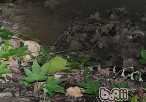 原矛头蝮的生活环境