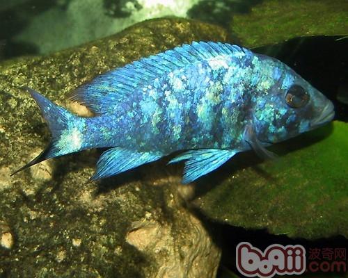 蓝宝石鱼的外形特点