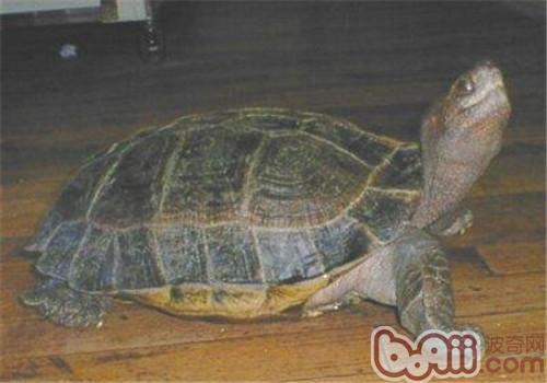 马来西亚巨龟的护理知识