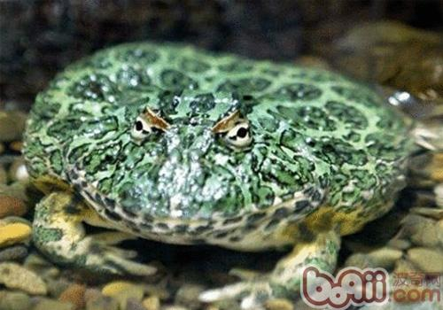 南美角蛙的喂食要点