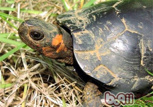 牟氏水龟的形态特征