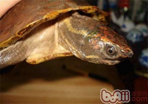 马来果龟的护理知识