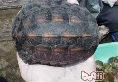 缅甸黑山龟的生活环境