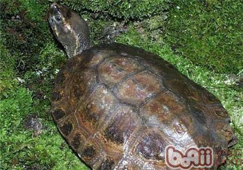 马来果龟的外观特征
