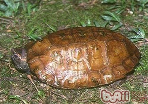 马来果龟的品种简介