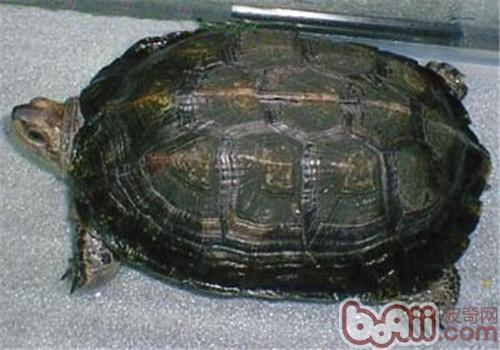 缅甸黑山龟的品种简介