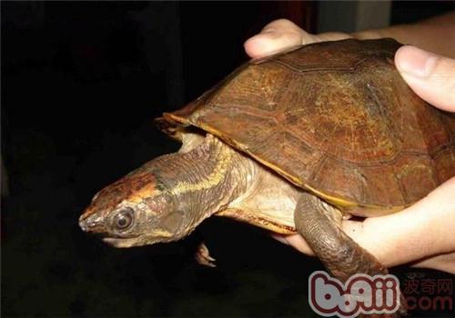 马来果龟的生活环境