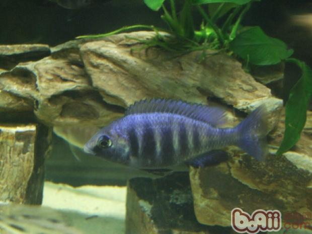 蓝宝石鱼的喂食要点