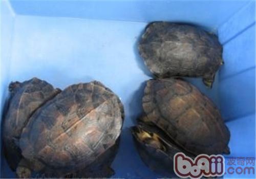 缅甸黑山龟的外观特征
