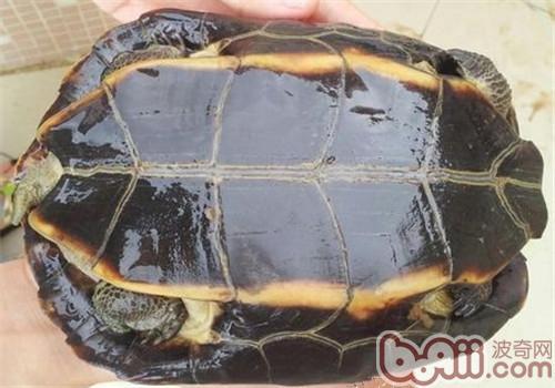 缅甸黑山龟的饲养要点