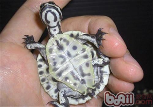 面具侧颈龟的外观特征
