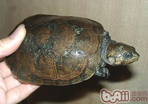 马达加斯加大头侧颈龟的生活环境