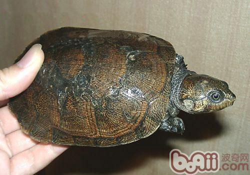 斯加大头侧颈龟多少钱一只 马达加斯加大头侧颈龟好养吗 波奇宠物品