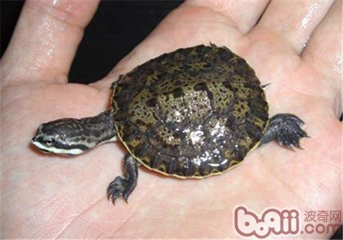 面具侧颈龟的生活环境