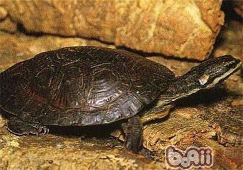 面具侧颈龟的品种简介