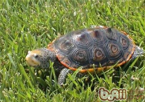 密西西比钻纹龟的外观特征