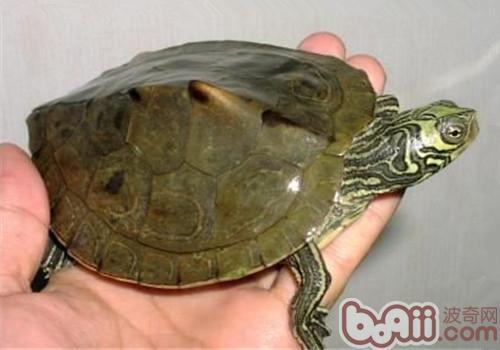 蒙面地图龟的品种简介
