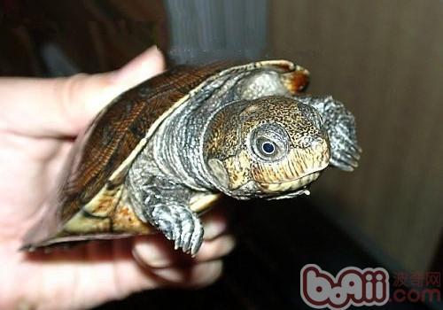 马达加斯加大头侧颈龟的护理知识