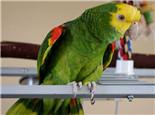 黄冠亚马逊鹦鹉的生活环境