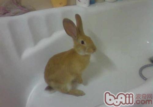 给宠物兔洗澡的要点图片