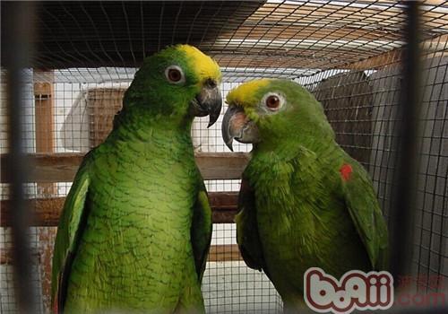 黄冠亚马逊鹦鹉的饲养知识
