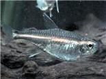银燕子灯鱼的外形特点